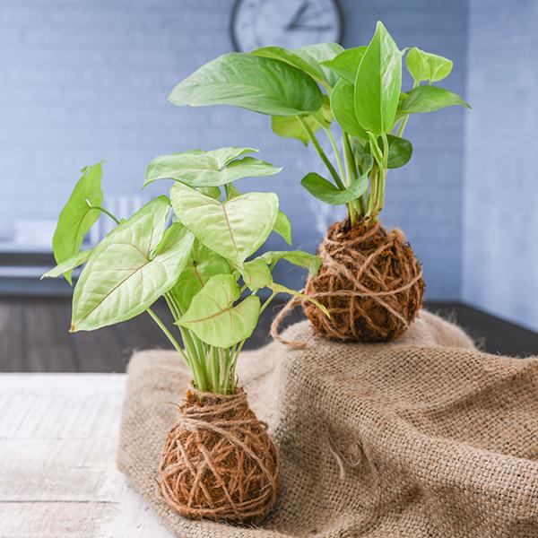 Buy plants online in Pune